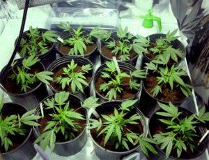 La coltivazione per uso personale di Marijuana
